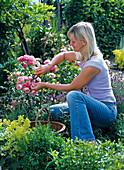 Frau schneidet verblühte Blüten von Rosa 'Leonardo da Vinci'