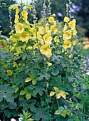 Alcea ficifolia (Stockkrose) gelb, einfach
