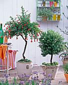 Granatapfel und Myrtenstämmchen