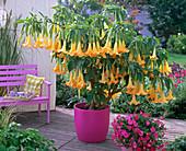 Brugmansia syn. Datura (Engelstrompete) mit gelben Blüten