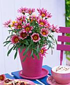Gazania (Mittagsgold) roséfarben