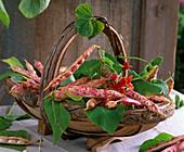 Korb mit Phaseolus (Bohnen)