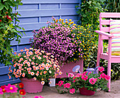 Rosa-pink-lila Arrangement vor blauer Sichtschutzwand