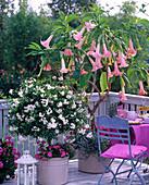 Datura 'Pink Favorit' syn. Brugmansia (Engelstrompete)