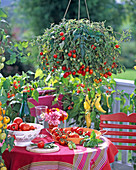 Lycopersicon 'Tumbler' (Ampeltomate) auf Gemüsebalkon