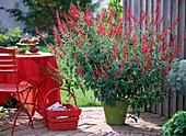 Salvia rutilans (Ananassalbei) blühend