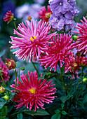 Blüten von Dahlia (pinker Kaktusdahlie)