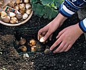Tulpenzwiebeln in selbstgemachten Drahtkorb pflanzen: 3/4