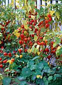 Herbst Staude Früchte orange