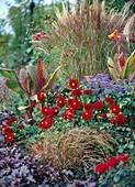 Herbst Beet rot blau Stauden Sommerzwiebeln