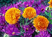Blüten von Calendula (Ringelblume) zwischen Aster (Astern)