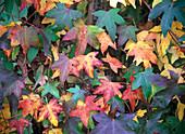 Liquidambar (Amberbaum) in Herbstfärbung