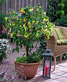 Abutilon (Schönmalve) mit großen gelben Blüten