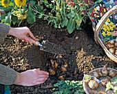 Zwiebeln von Narcissus (Narzissen) mit Erde bedecken