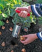 Zwiebeln von Tulipa (Tulpen) mit Zwiebelpflanzer einpflanzen