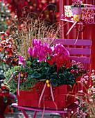 Cyclamen (Alpenveilchen) rot und pink, Thymus citriodorus