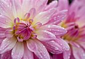 Blüten von Dahlia 'Alexander von Humboldt'