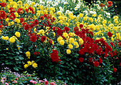 Beet mit gelben und roten Dahlia (Dahlien)