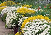 Alyssum (Steinkraut), Iberis (Schleifenblume) auf Mauer im Steingarten