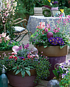 Frühlingsflirt in lila Töpfen: Aquilegia 'Spring Magic', Primula