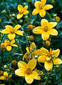 Blüten von Bidens (Zweizahn, Goldmarie)