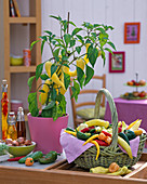 Gelbe Capsicum (Paprika) in rosa Topf, Korb mit geernteten Paprikas