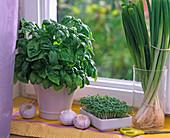 Ocimum (Basilikum), Lepidium (Kresse), Allium (Frühlingszwiebeln)