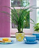 Beaucarnea (Elefantenfuß) in geblümtem Übertopf auf dem Tisch, blaue Teetasse