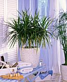 Pflanze im Bad : Dracaena marginata (Drachenbaum)