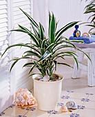 Pflanze im Bad : Dracaeana deremensis 'White Stripe' (Drachenbaum)