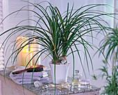 Pflanze im Bad : Beaucarnea recurvata (Flaschenbaum)
