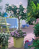 Hibiscus rosa-sinensis (Roseneibisch) mit weißen Blüten