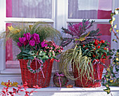 Cyclamen (Alpenveilchen), Carex testacea und hachijoensis