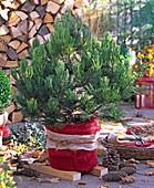 Pinus banksiana 'Arktis' (Banks - Kiefer) aus der Nasto - Symphonie