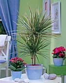 Dracaena 'Tricolor' (Drachenbaum), Kalanchoe (Flammendes Kätchen) auf Tisch