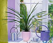 Cordyline indivisa 'Peko' (Keulenlilie) auf der Fensterbank, Teegeschirr