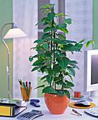 Cissus antarctica (Zimmerwein) in orangem Übertopf im Büro, Ordner