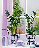 Zamioculcas zamiifolia in karierten Übertöpfen am Fenster, Teegeschirr