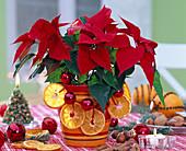 Euphorbia pulcherrima (Weihnachtsstern) weihnachtlich dekoriert