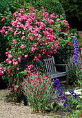 THE PRIORY, BEECH HILL, Berkshire: WOODEN BENCH with CLIMBING AMERICAN PILLAR ROSE TRAINED OVER TRELLIS, with DELPHINIUMS AND LYCHNIS CORONARIA