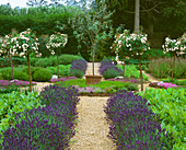 THE Herb Garden at LE MANOIR AUX QUAT SAISONS with LAVENDER HIDCOTE, STANDARD ROSES, SORREL Pot with Olive TREE