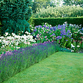 BORDER of ROSES AND LILIES EDGED with LAVENDER AND LAWN IN THE ROSE GARDEN. Castle HOWARD, YORKSHIRE.