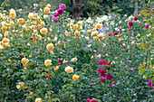 Rosa 'Graham Thomas' (Englische Rose, gelb), 'Paul Neyron' (Historische Rose)