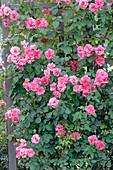 Rosa 'Les Amoureux de Peynet' syn. 'Meitobla', 'Efekto 21', 'Simply Magic'