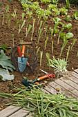Pflanzung von Allium porrum (Lauch) im August, Korb