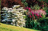 PETTIFERS Garden, OXFORDSHIRE: BORDER IN SPRING with VIBURNUM 'Pink BEAUTY', ALLIUM 'Purple Sensation', BERBERIS 'ROSEGLOW', DICTAMNUS Var PURPUREUS