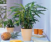 Calathea rufibarba (Korbmaranthe) auf dem Tisch, Ananas, Servietten, Bücher