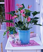 Anthurium 'Pink Champion' (Flamingoblume) in türkisem Übertopf auf dem Tisch