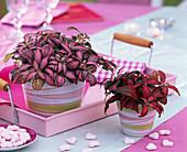 Fittonia (Fittonien) in geringelten Übertöpfen, rosa Tablett, Zuckerherzen