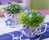 Soleirolia soleirolii (Bubiköpfchen) in gemusterten Kaffeetassen auf dem Tisch
